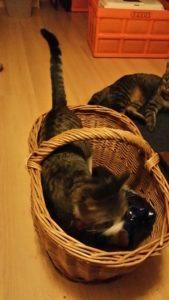 Katze im Einkaufskorb